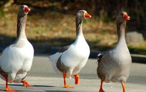Почему у гусей отнимаются ноги?