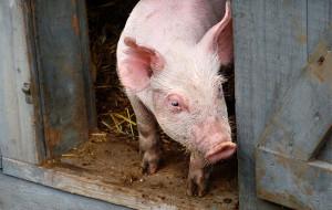 Почему свинья чешется?