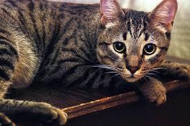 Чем и как часто кормить калифорнийскую сияющую кошку?