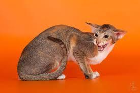 Особенности содержания ориентальной кошки?