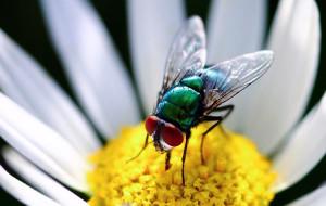 Почему мухи жужжат?