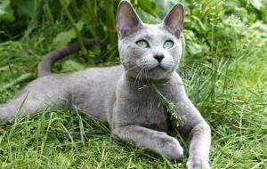 Как купать русскую голубую кошку?