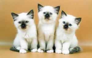 Сколько стоит котенок бирманской кошки?