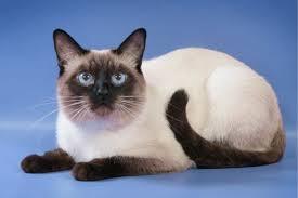 Как ухаживать за шерстью тайских кошек?