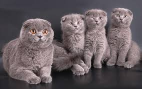 Чем кормить шотландскую вислоухую кошку?