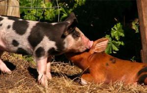 Почему свиньи плохо едят?