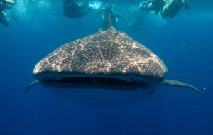 8 интересных фактов о китовой акуле