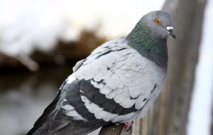 Почему голуби бросают птенцов?