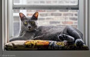 Чем кошки породы корат отличаются от русской голубой кошки?