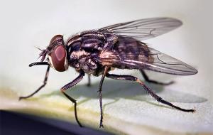Почему мухи кусаются осенью?