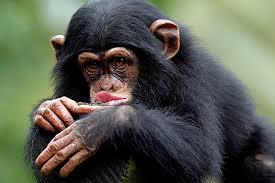 Обезьяны, живущие в Смоленском зоопарке, предсказывают будущее горожанам