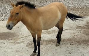 В Смоленское Поозерье прибыли ещё три лошади Пржевальского