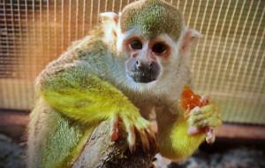 Символом года в Смоленском зоопарке стал саймири Зурик