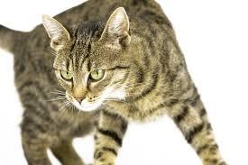 Как можно устранить перхоть у кошек навсегда