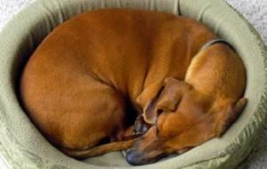 Почему собаки кружатся вокруг постели, прежде чем лечь?