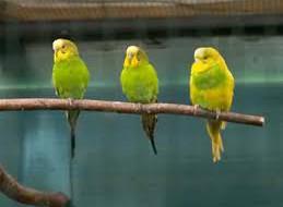 Все о волнистых попугаях