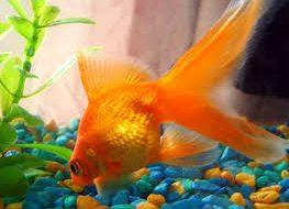 Золотые рыбки как питомцы?