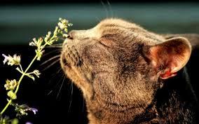 Какая польза от кошачьей мяты?