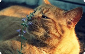 Кошачья мята или Котовник кошачий