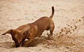 Почему собаки роют землю?