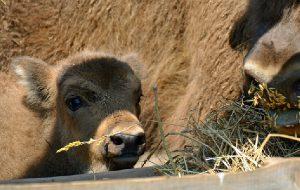 Первого родившегося в Смоленском Поозерье зубрёнка назвали Смолкой