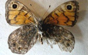 В «Смоленском Поозерье» нашли редкую бабочку мегеру