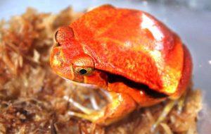 В «Смоленском зоопарке» поселились бородатые агамы и лягушки-помидоры