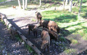 В Смоленскую область могут переселить литовских зубров