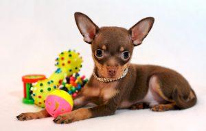 Декоративные собаки. Западная группа: Мальтийская болонка. Французская болонка. Цветная болонка. Английский буль
