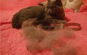 Все, что нужно знать о линьке кошек