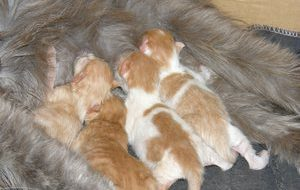 Как ухаживать за кошкой и котятами после родов?