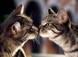 Контрацепция для кошек