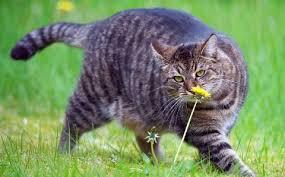 Что делать, если у кошки лишний вес?