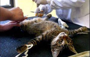 Как ухаживать за кастрированным котом?