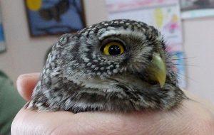 В «Смоленском Поозерье» спасли самую маленькую сову России