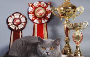 Что нужно знать, выбирая кошку для разведения и выставок?