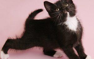 В каком возрасте заводить котенка?