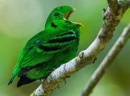 Малый зеленый рогоклюв