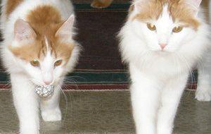 10 способов развлечь кошку
