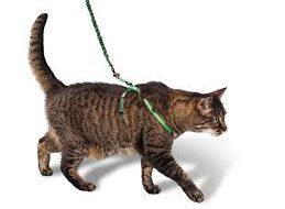 Как приучить кошку к шлейке и прогулкам?
