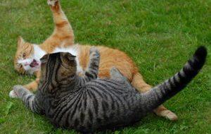 Проблемы с лотком и конфликты при содержании нескольких кошек