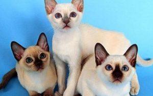 Сиамские кошки (тайские)