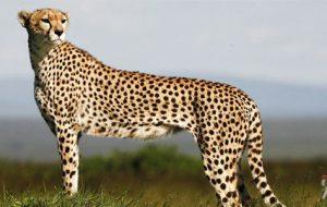 Ученые: гепарды стали вымирающим видом