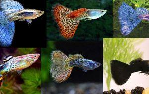 Гуппи аквариумная рыбка