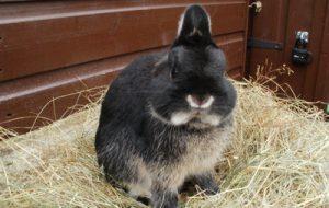 Карликовый кролик — особенности содержания
