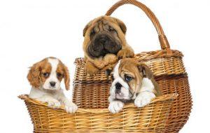 Генетика собак: будет ли щенок похож на своих родителей?