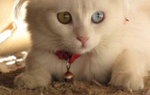 Гетерохромия глаз у кошек