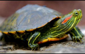 Преимущества домашних черепах