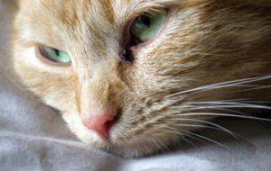 Кальцивироз у кошек симптомы и лечение в домашних условиях