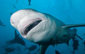 Самые кровожадные акулы мира